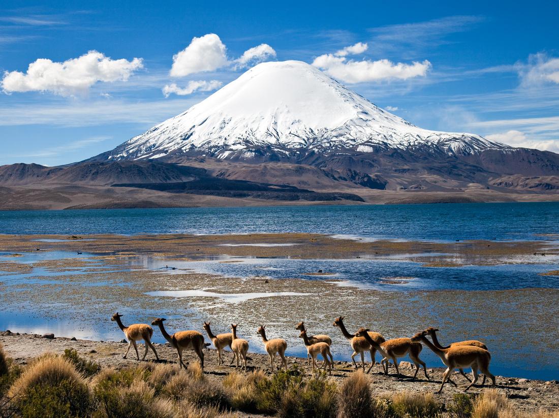 Vicuãs - Lauca, Chile