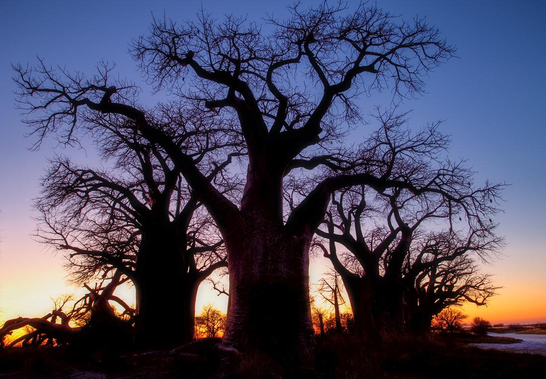 Baobas - X-Pan Natl Park, Namibia