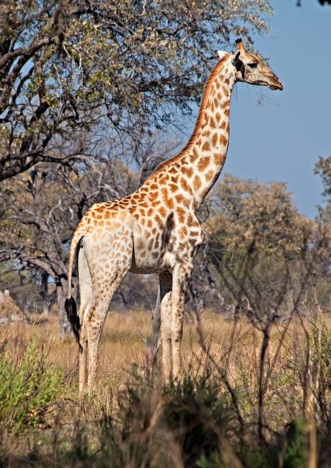 Lion - Okavango Delta