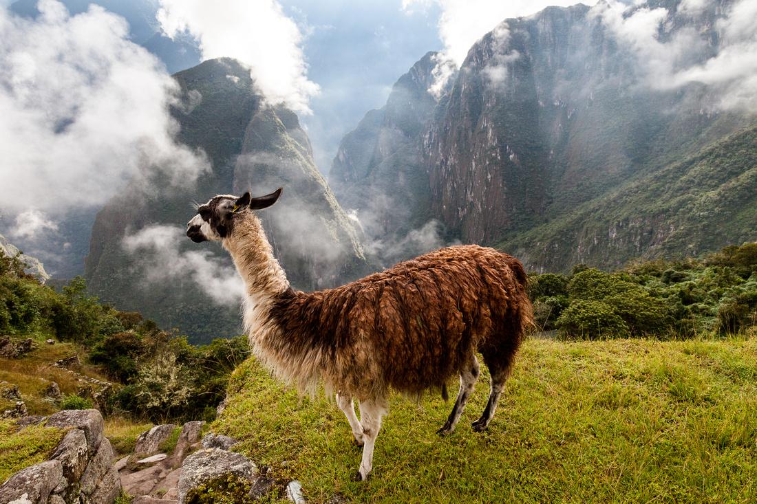 Llama - Machupicchu, Peru